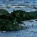 Wild Ducks Stock Photography
