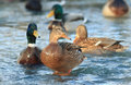 Wild ducks in cold pond Royalty Free Stock Photo