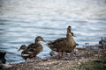 Wild ducks coming from lake walking out of the Royalty Free Stock Photos
