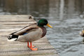 Wild ducks on the Island of Trakai in Vilnius Royalty Free Stock Photo