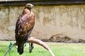 Wild eagle Royalty Free Stock Photo