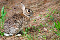 Wild eastern cottontail rabbit sylvilagus floridanus in forest with room for copy Royalty Free Stock Images