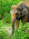 Wild elephant Royalty Free Stock Photos