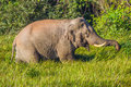 Wild elephant asian elephant is eating on the field in nature at khaoyai national park thailand Stock Image