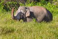 Wild elephant asian elephant lift up her trunk Stock Images