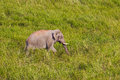 Wild elephant asian elephant walking in the grass field in nature at khaoyai national park thailand Stock Photography