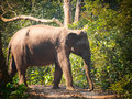Wild elephant from herd of about crossing a track through riverine jungle in bardia national park nepal Royalty Free Stock Photos