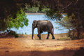 Wild Elephant In Nature