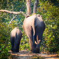 Wild elephant rears elephants from herd of about in bardia national park nepal Royalty Free Stock Image