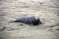 Wild elephant seal