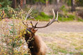 Wild elk bull banff national park alberta canada Stock Photography