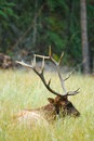 Wild elk bull banff national park alberta canada Royalty Free Stock Images