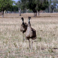 Wild Emu Royalty Free Stock Photo