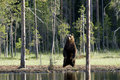 Wild European brown bear, Finland Royalty Free Stock Photo
