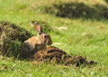 Wild European Rabbit (Oryctolagus cuniculus) Royalty Free Stock Image