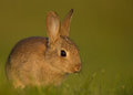 Wild european rabbit oryctolagus cuniculus juvenile in the meadow Royalty Free Stock Photo