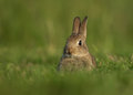 Wild european rabbit oryctolagus cuniculus juvenile in the meadow Stock Image