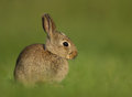 Wild european rabbit oryctolagus cuniculus juvenile in the meadow Stock Images