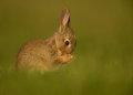 Wild european rabbit oryctolagus cuniculus juvenile washing itself in the meadow Royalty Free Stock Photos