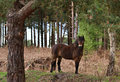 Wild Exmoor Pony Stock Photography
