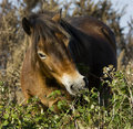 Wild Exmoor pony grazing Royalty Free Stock Photography