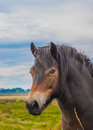 Wild exmoor pony a rare breed Royalty Free Stock Image