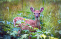 Wild fawn the young hiding in a grassy meadow in maryland Royalty Free Stock Photography