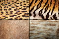 Wild felines fur collection real pelt textures of tiger lion ocelot and leopard Stock Image
