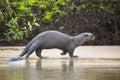 Wild Female Giant Otter Strolling along Beach by Jungle