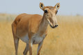 Wild female Saiga antelope in Kalmykia steppe