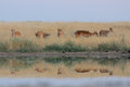 Wild female saiga antelopes in steppe near watering pond critically endangered tatarica at morning federal nature reserve Royalty Free Stock Images