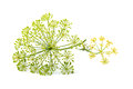 Wild fennel flowers closeup isolated.