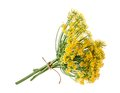 Wild fennel flowers isolated on white Royalty Free Stock Image