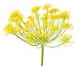 Wild fennel flowers isolated on white Stock Photos