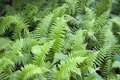 Wild Ferns Royalty Free Stock Photo