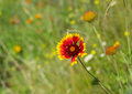 Wild field with indian blanket flowers among native herbs at summer season in ukraine Stock Photography