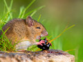 Wild field mouse eating blackberry on log sideview Royalty Free Stock Images