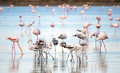 Wild flamingos at the salt lake of Larnaca, Cyprus Royalty Free Stock Photo