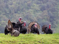 Wild flock of Turkeys Royalty Free Stock Photography