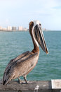 Wild Florida Pelican Royalty Free Stock Photo