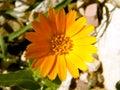 Wild flower beautiful orange in a field Stock Image
