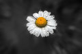 Wild flower daisy with drops of morning dew. Royalty Free Stock Photo