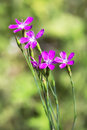 Wild flower Dianthus deltoides (Lat. Dianthus deltoides L) Royalty Free Stock Photo