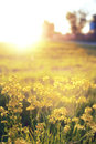 Wild flower on a green meadow in spring evening sunset hour Royalty Free Stock Photo