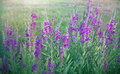 Wild flower meadow flower purple in a Royalty Free Stock Photo