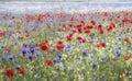 Wild flower meadow, Heartwood Forest, Sandridge, St Albans, Hertfordshire Royalty Free Stock Photo