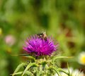 Wild flower of milk thistle silybum marianum and bees worker on flowers collecting exquisite pollen Royalty Free Stock Photos