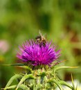 Wild flower of milk thistle silybum marianum and bees worker on flowers collecting exquisite pollen Stock Images