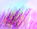 Wild flower purple meadow flower in a Royalty Free Stock Image