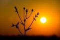 Wild flower on sunset background Royalty Free Stock Photo